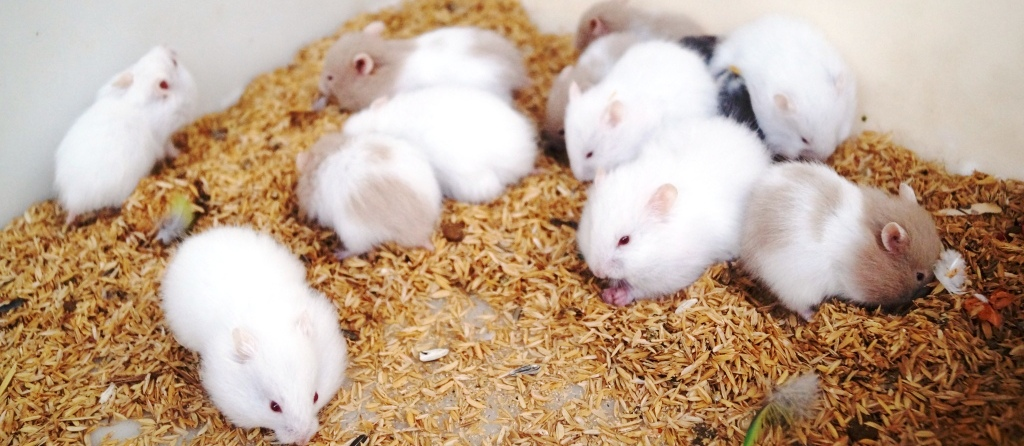 Can Syrian Hamsters Eat Rabbit Food