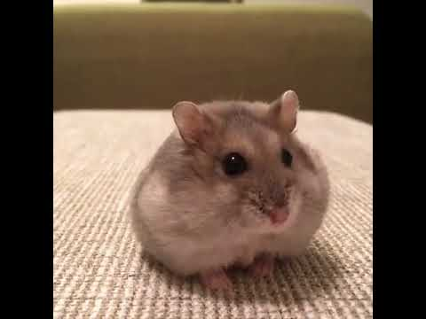 how to take care if a hamster