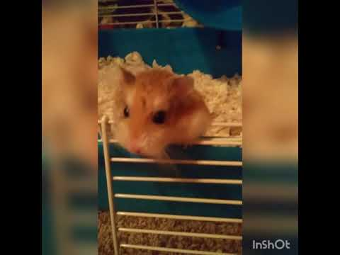 roborovski hamster facts