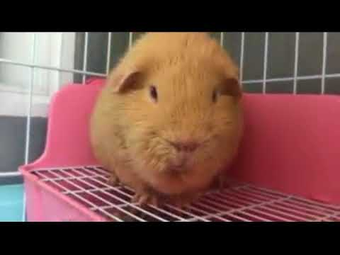 Can Syrian Hamsters Eat Guinea Pig Food
